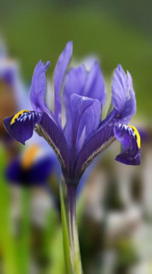 iris-pixie