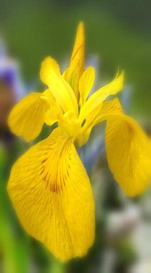 iris-royal-yellow