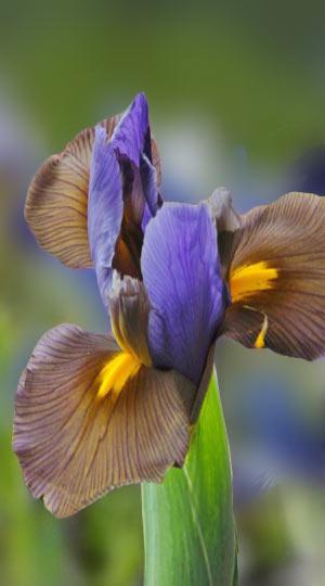 iris-tigereye