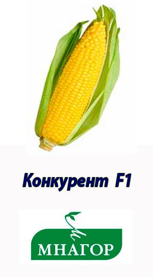 КОНКУРЕНТ F1 гибрид сладкой кукурузы МНАГОР