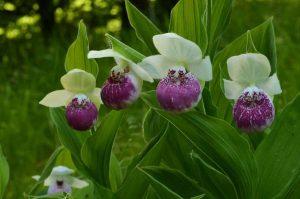 Корневища орхидей садовых