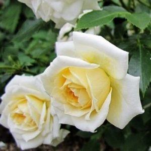 Троянда Ледреборг (саджанці)
