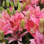 luchshie-lilii-2