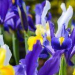 lukovicz-irisa