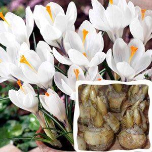 Луковицы крокусов от 500 шт