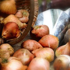 Луковицы тюльпанов от 500 шт