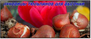 Луковицы-тюльпанов-для-выгонки