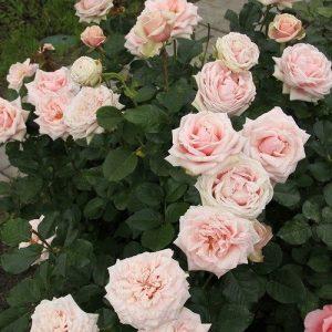 Троянда Маджестік (саджанці)