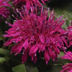monarda-balmy-purple