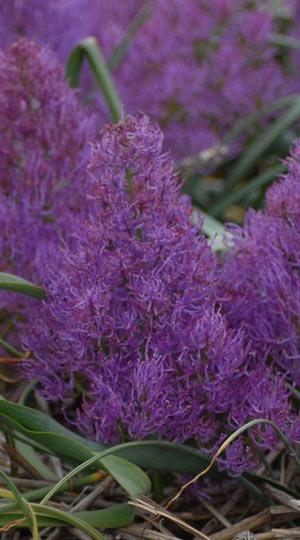muscari-plumosum