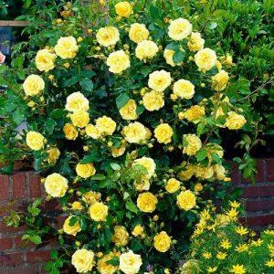 Троянда Голден Шоверс (саджанці)