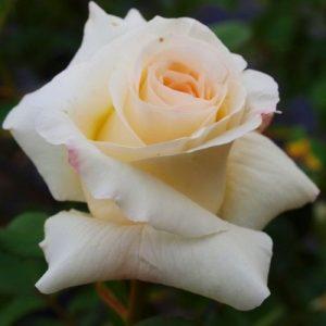 Троянда Шнеєвальцер (саджанці)