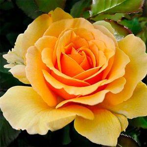 Троянда Амбер Квін (саджанці)