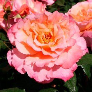 Троянда Августа Луїза (саджанці)