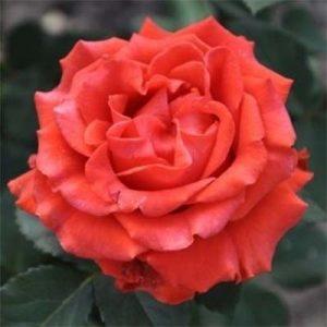 Троянда Ель Торо (саджанці)
