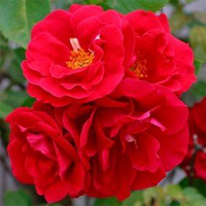 Троянда Фламентанц (саджанці)