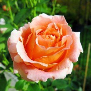 Троянда Полька (саджанці)