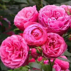 Троянда Помпонелла (саджанці)