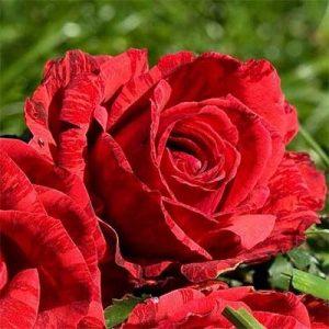 Троянда Ред Інтуішн (саджанці)