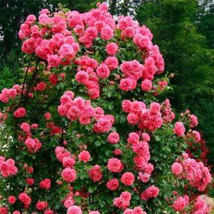 Троянда  Розаріум Ютерсен (саджанці)