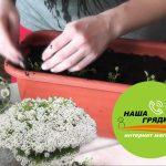 Семена-алиссума-купить