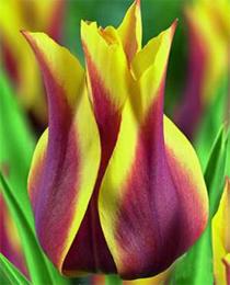 Тюльпан Балада Дрім 500 цибулин