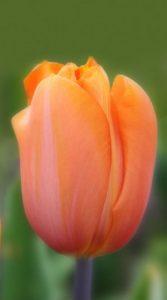 Тюльпан ЮРИЙ ГАГАРИН (Tulip  Dordogne)