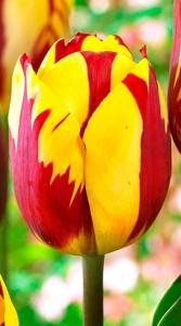 Тюльпан Хелмар 500 цибулин