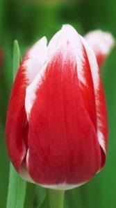 Тюльпан Лех Валенса 500 цибулин