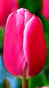 Тюльпан Андорра 500 цибулин
