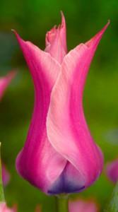Тюльпан Йонина 25 луковиц