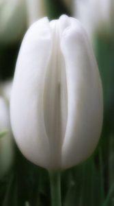 Тюльпан Альбатрос 500 цибулин