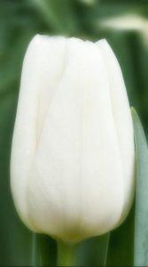 Тюльпан Alborz 500 цибулин