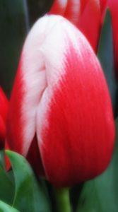 Тюльпан Анна Марі 500 цибулин