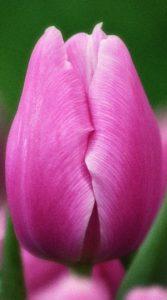 Тюльпан Аргос 500 цибулин