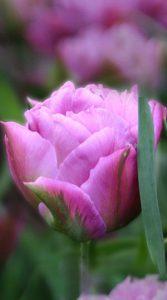 Тюльпан Дабл Прайс 500 луковиц