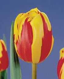 Тюльпан Холланд Куїн 500 цибулин