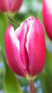 Тюльпан Камалія 500 цибулин