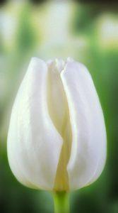 Тюльпан Літовен 500 цибулин