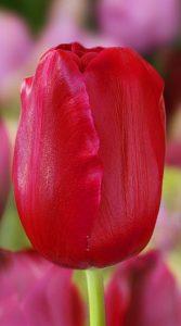 Тюльпан Меріда 500 цибулин