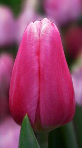 Тюльпан Мілкшейк 500 цибулин