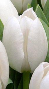 Тюльпан Міс Медведєва 500 цибулин