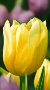 Тюльпан Монте Бью 500 луковиц