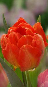 Тюльпан Монте Оранж 500 луковиц