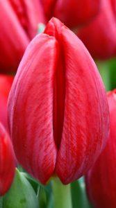 Тюльпан Ред Барон 500 цибулин