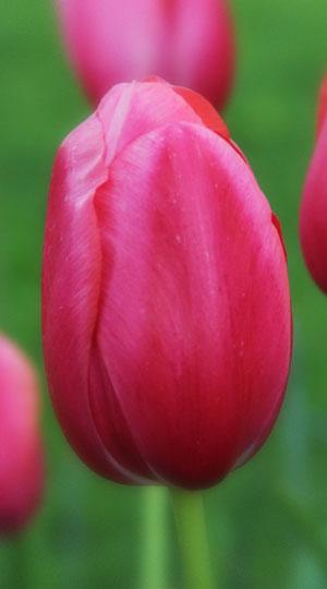 тюльпан екатерина великая