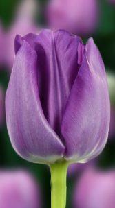 Тюльпан Сайгон 500 цибулин