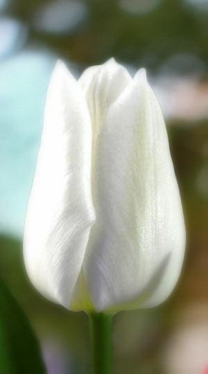 tulipa-snow-lady