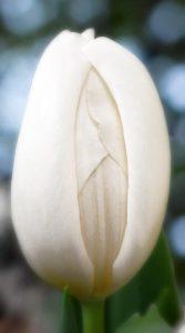 Тюльпан Сноуборд 500 цибулин