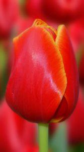 Тюльпан Веранді 500 цибулин